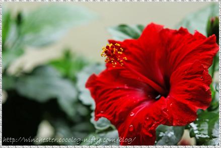 Hibiscus_002