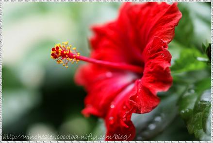 Hibiscus_003