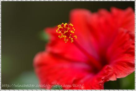 Hibiscus_004