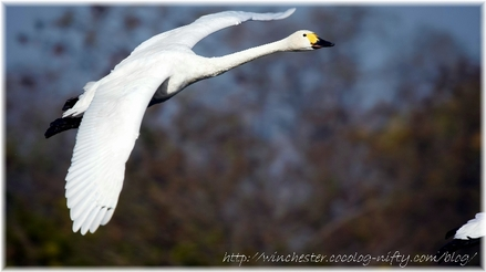 Swan_20070002