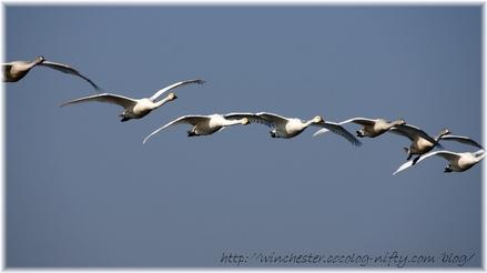 Swan_20070005