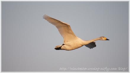 Swan_20070009