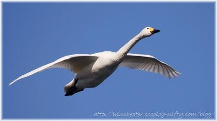 Swan_20070001
