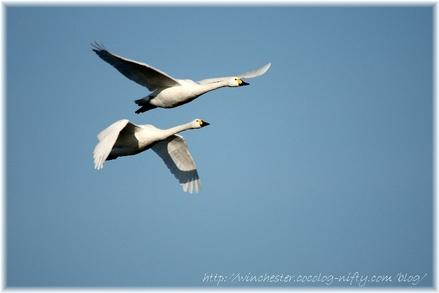 Swan_20070010