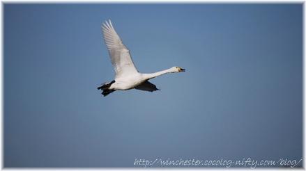 Swan_20070014