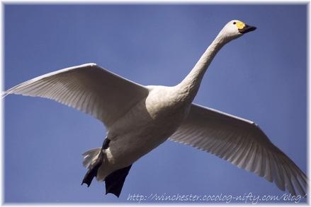 Swan_20080000