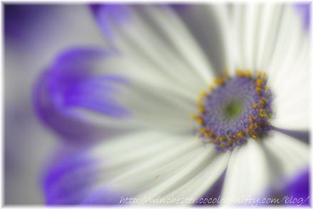 Cineraria_2008_005_2