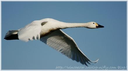 Swan_20080003