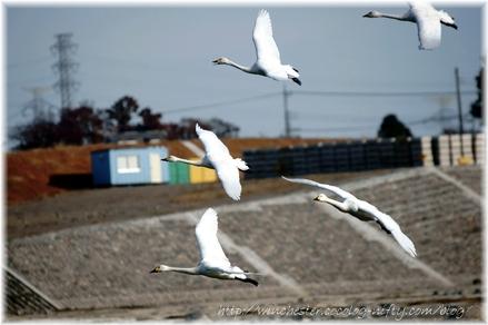 Swan_20080004
