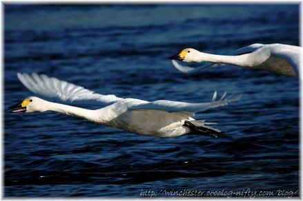 Swan_20080005