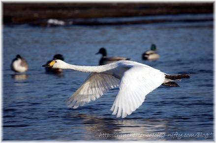 Swan_20080007