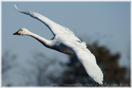 Swan_20080009_2