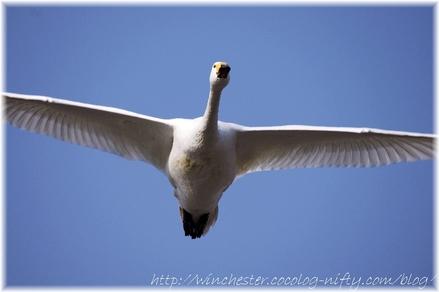 Swan_20080010