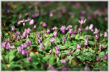 Erythronium_japonicum_2008001