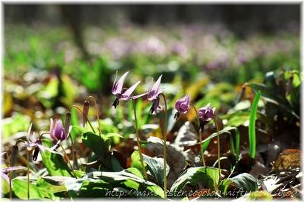 Erythronium_japonicum_2008002