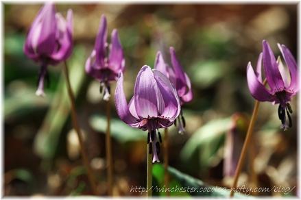 Erythronium_japonicum_2008019