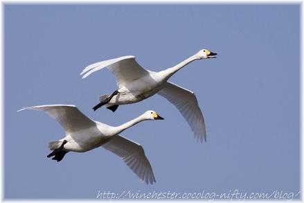 Swan_20080014