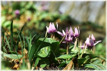 Erythronium_japonicum_2008006