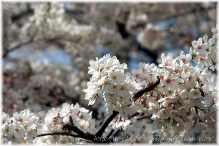 Sakura_2008003