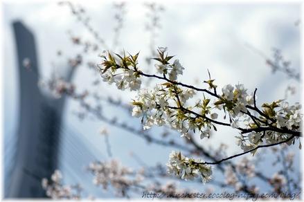 Sakura_2008006