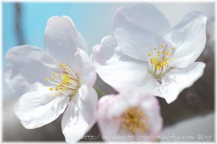 Sakura_2008007