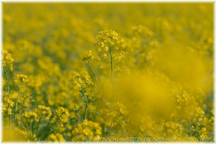 Nanohana_2008004