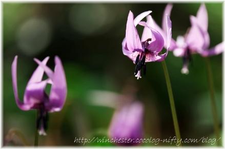 Erythronium_japonicum_2008009