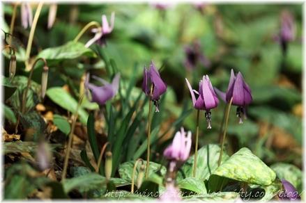 Erythronium_japonicum_2008010