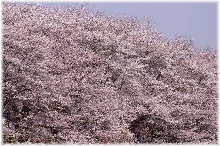 Gonkendosakura_2008011