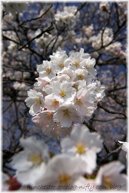 Sakura_2008008