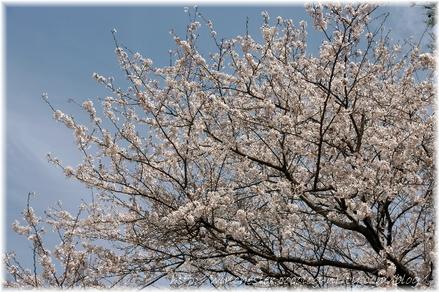 Sakura_2008011