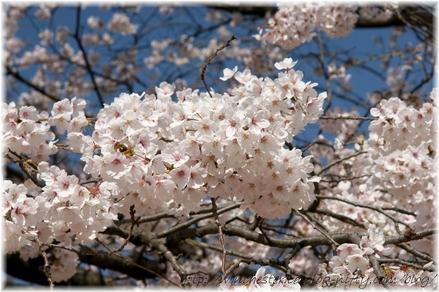 Sakura_2008013