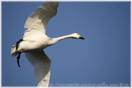 Swan_20080011