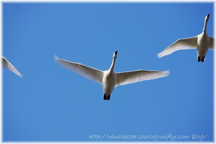 Swan_20080016