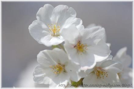 Sakura_2008009