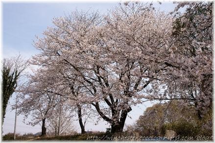 Sakura_2008018
