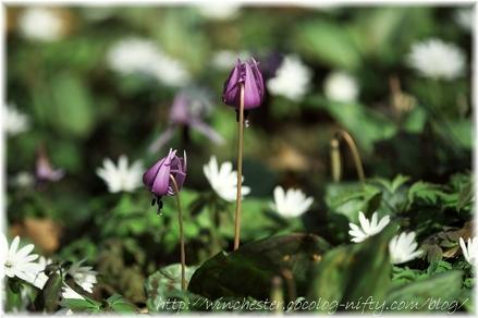 Erythronium_japonicum_2008016