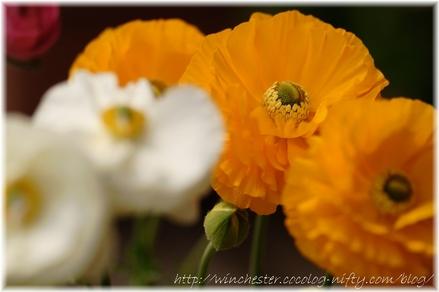 Ranunculus_2008001