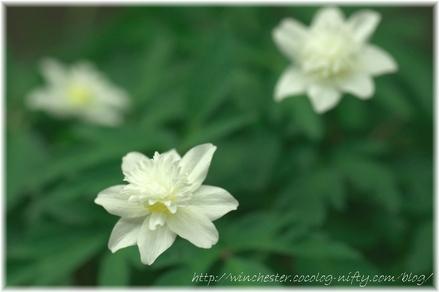 Anemone_2008001