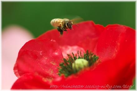 Poppy_2008012