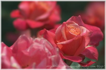 Rose_2008001