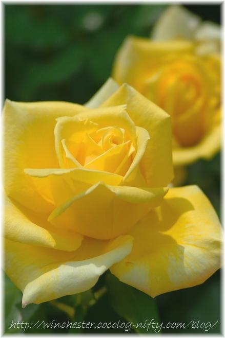 Rose_2008070