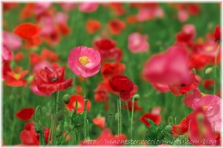Poppy_2008001