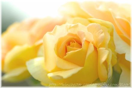 Rose_2008057