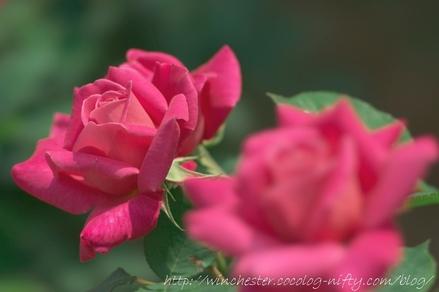 Rose_2008019