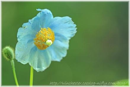 Blue_poppy_023