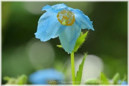 Blue_poppy_025