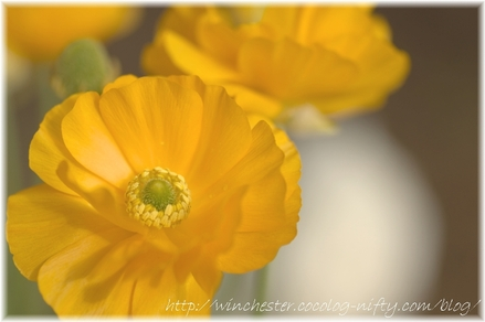 Ranunculus_2008005_2