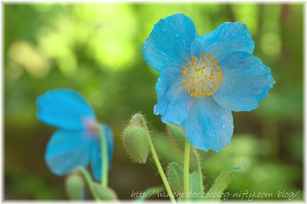 Blue_poppy_010