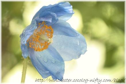 Blue_poppy_011